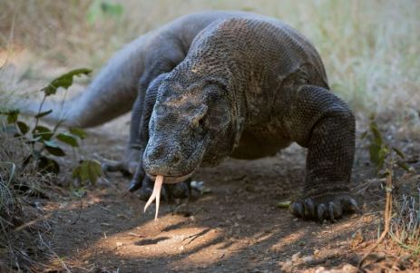 dragon Komodo Dragon (real)