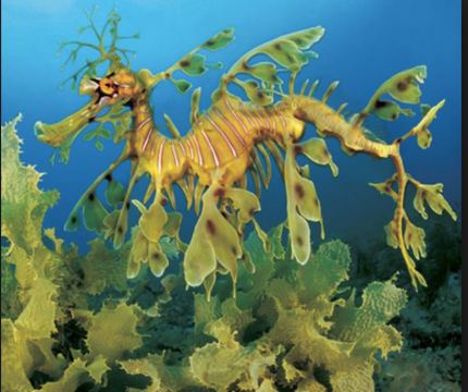 dragon Leafy Sea Dragon (real)