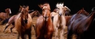 stampede horses